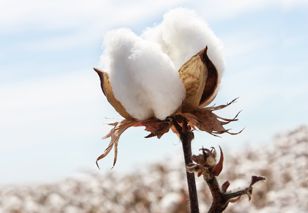 From Warp to Weft - Why We Use Egyptian Cotton